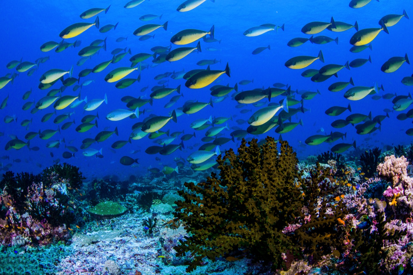 Black Coral and Surgeonfish