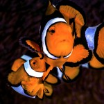 False Clown Anemonefish