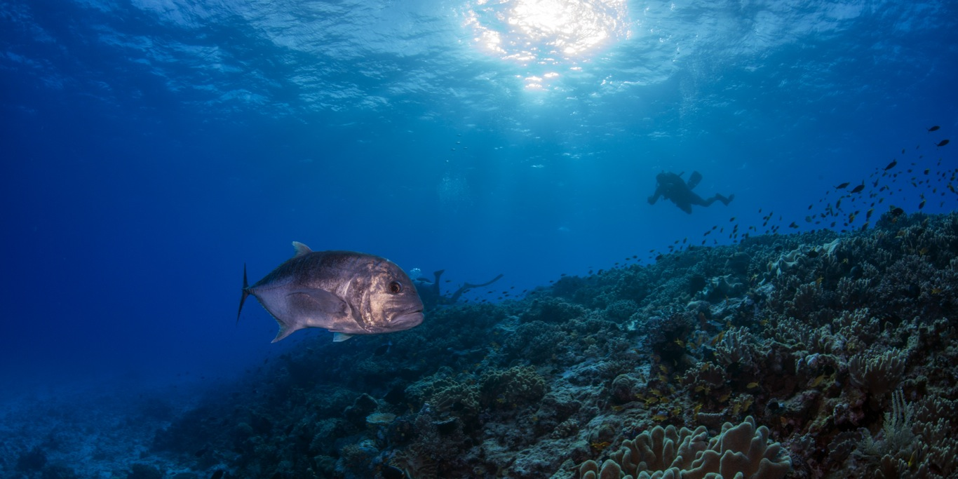Giant Trevally and Divers