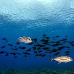 Jacks and Surgeonfish
