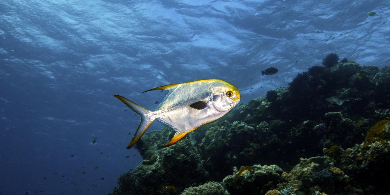 Snubnose Dartfish