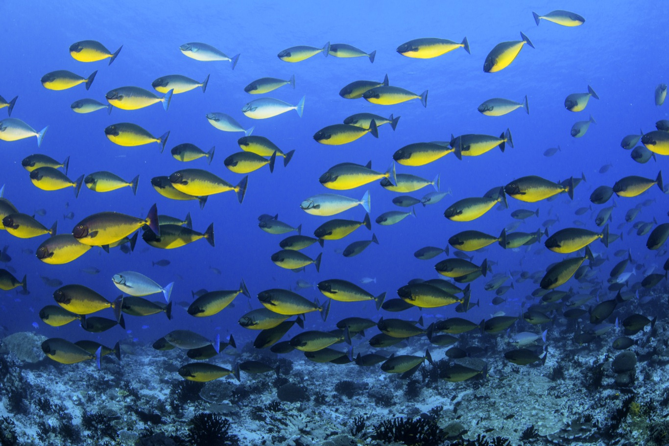Surgeonfish Schooling