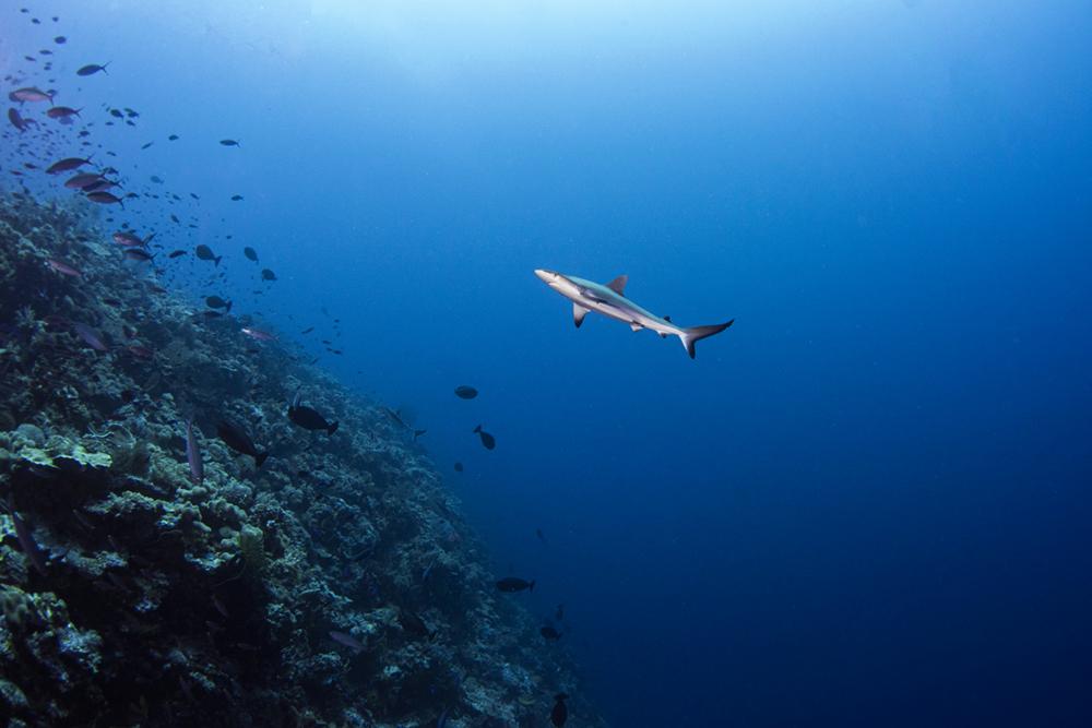 Baby Grey Reef Shark