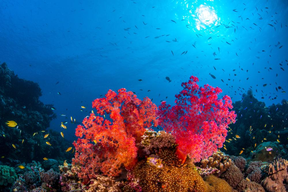 Beluga Corals