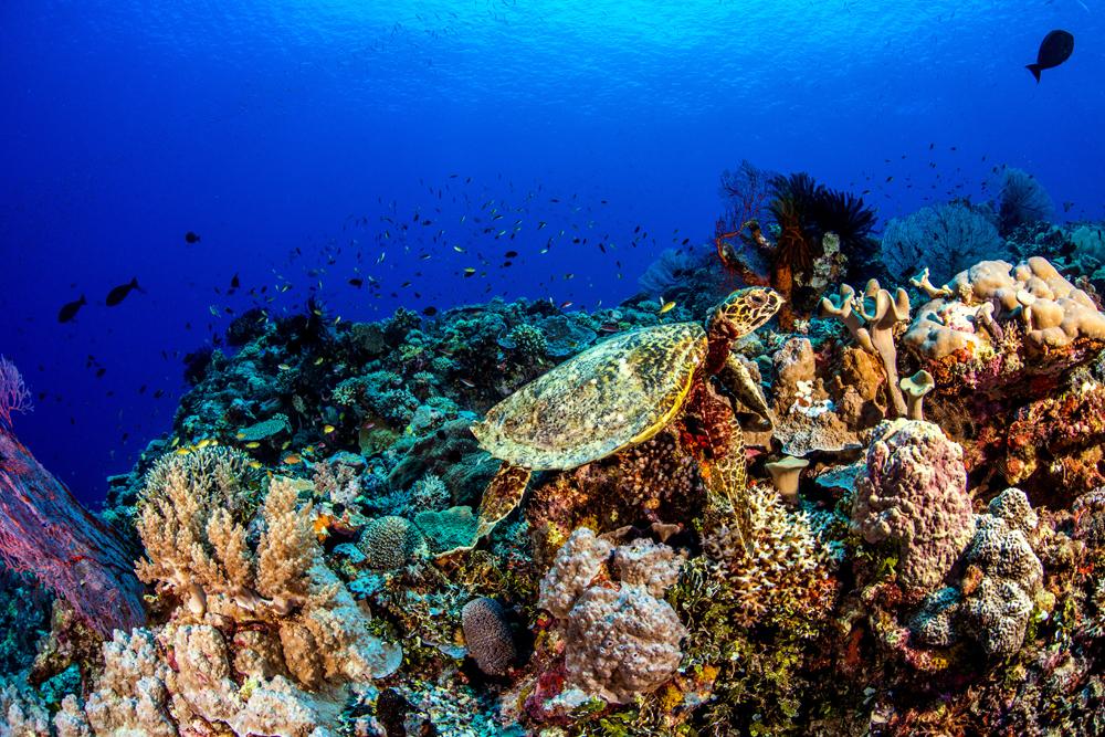 Poseidons' Lunchbox Hawksbill Turtle